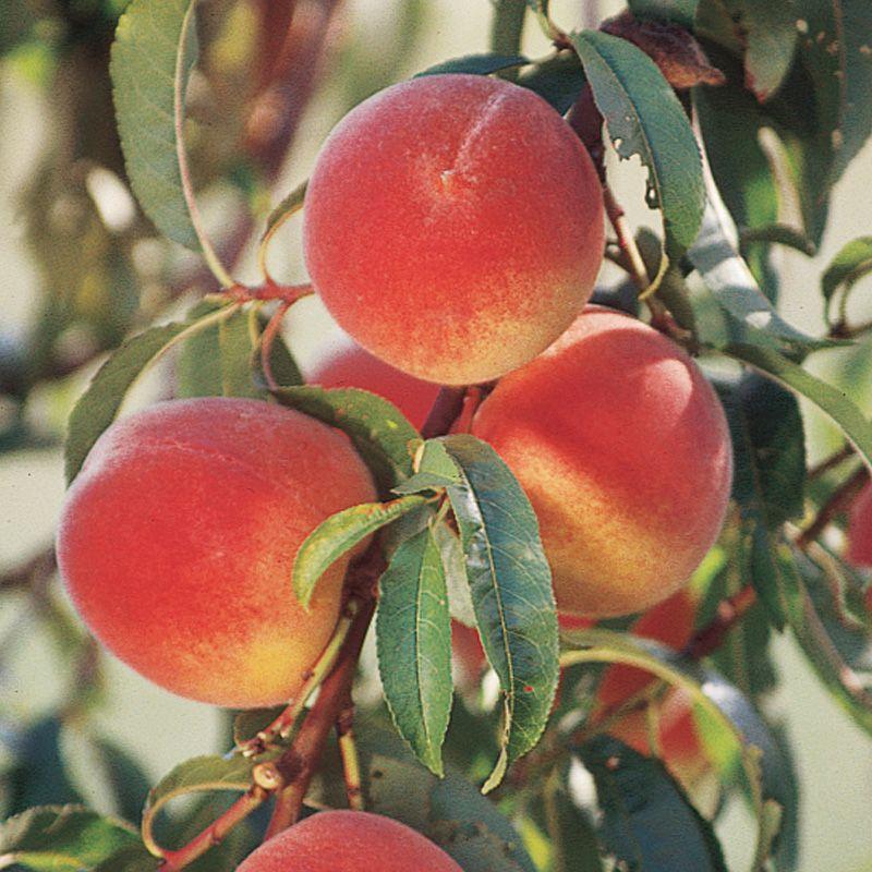 Elberta peach peach trees stark bro 39 s for The peach tree