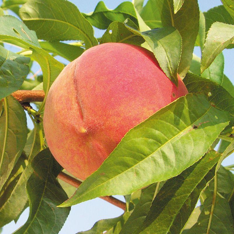 Golden jubilee peach peach trees stark bro 39 s for The peach tree