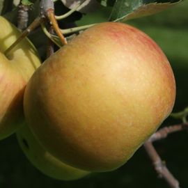 Spitzenburg Apple