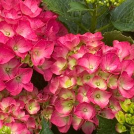 Photo of Cityline® Paris Hydrangea