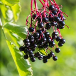 Adams Elderberry