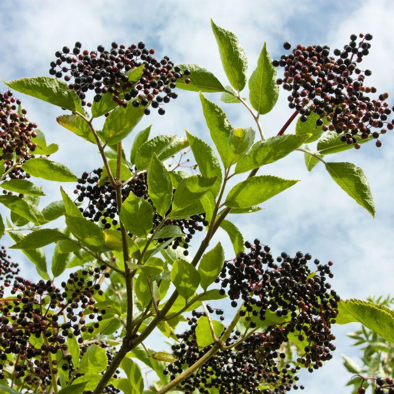 エルダーベリー成熟種