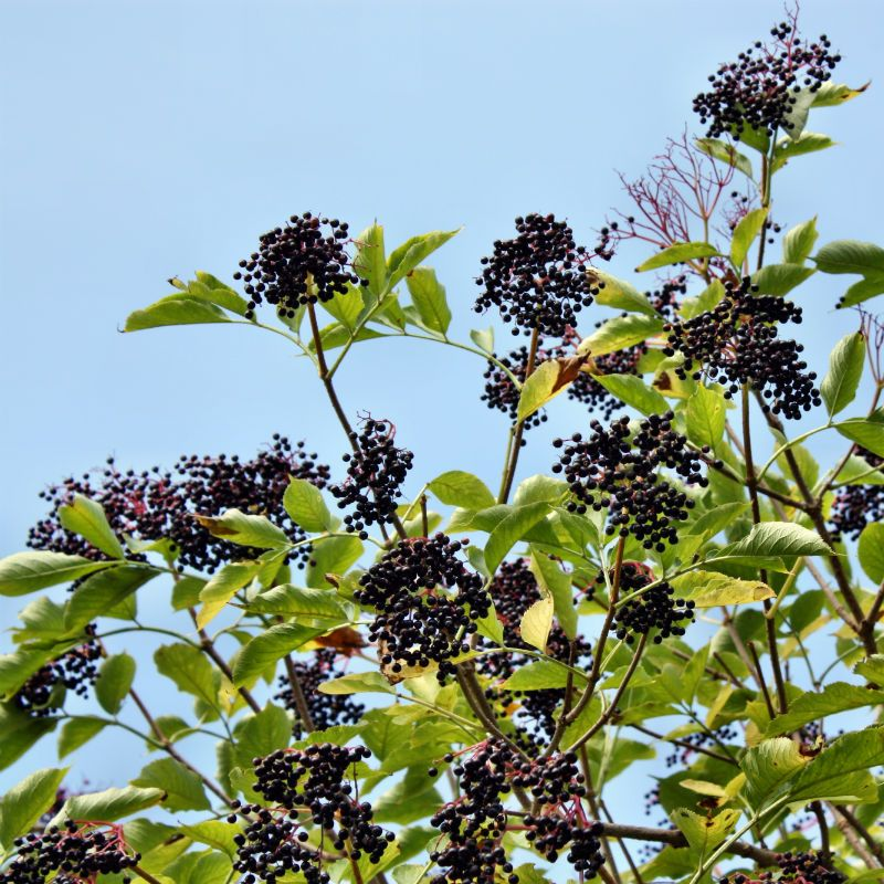 Nova Elderberry Elderberry Plants Stark Bro S