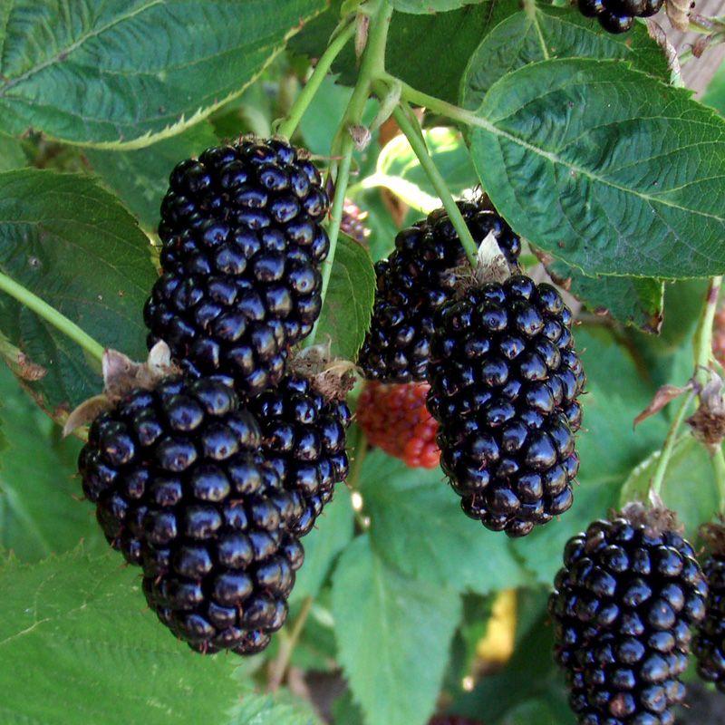 Marionberry Hybrid Berry Plants Stark Bro S