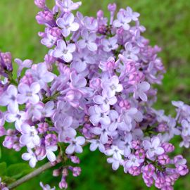 Fragrant Purple Lilac