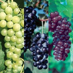 Popular Seedless Grape Vine Collection