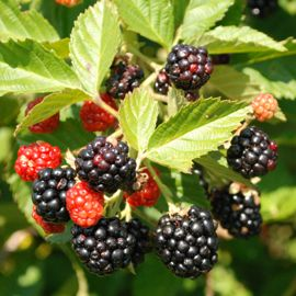 Primocane Blackberry Plant Collection