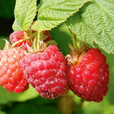 Photo of Encore Red Raspberry