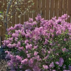 Bloomerang® Purple Lilac