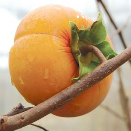 Fuyu Asian Persimmon