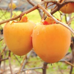 Photo of Tanenashi Asian Persimmon