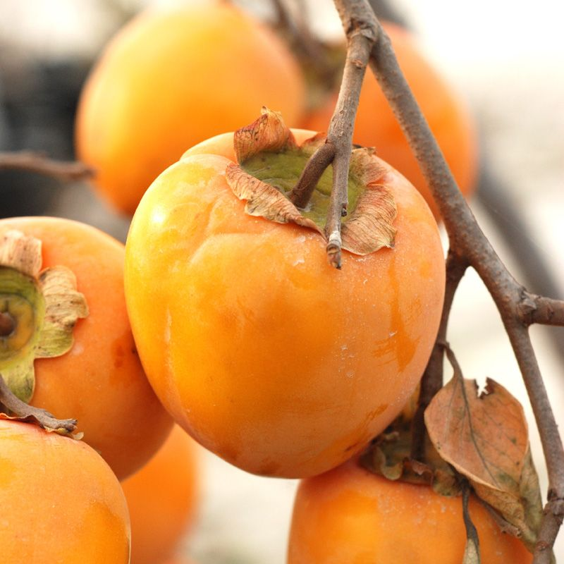 Asian Persimmon Plant Seeds Also know as Japanese ...