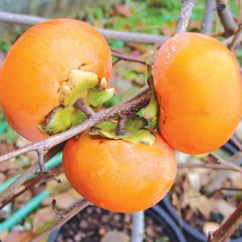 Ichi-Ki-Kei-Jiro Asian Persimmon