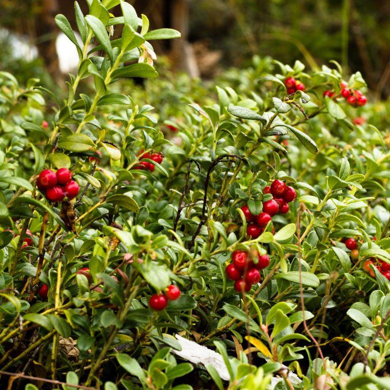 Koralle Lingonberry - Lingonberry Plants - Stark Bros