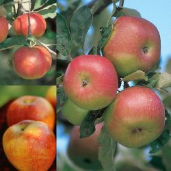 Cider Apple Tree Collection