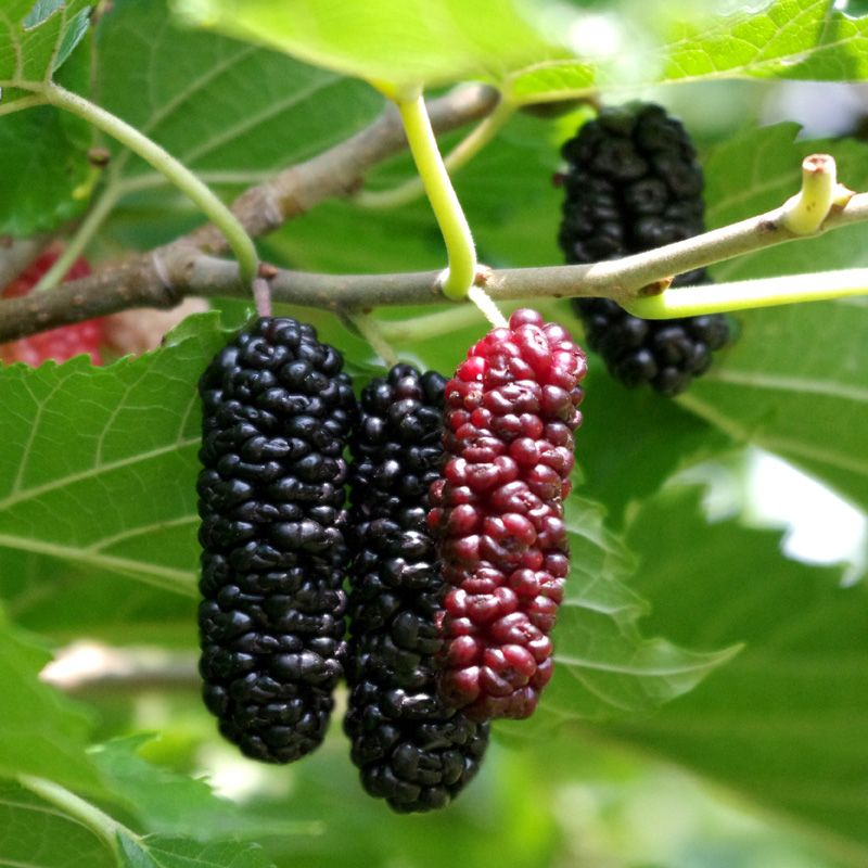 Pictures Of Mulberries Trees