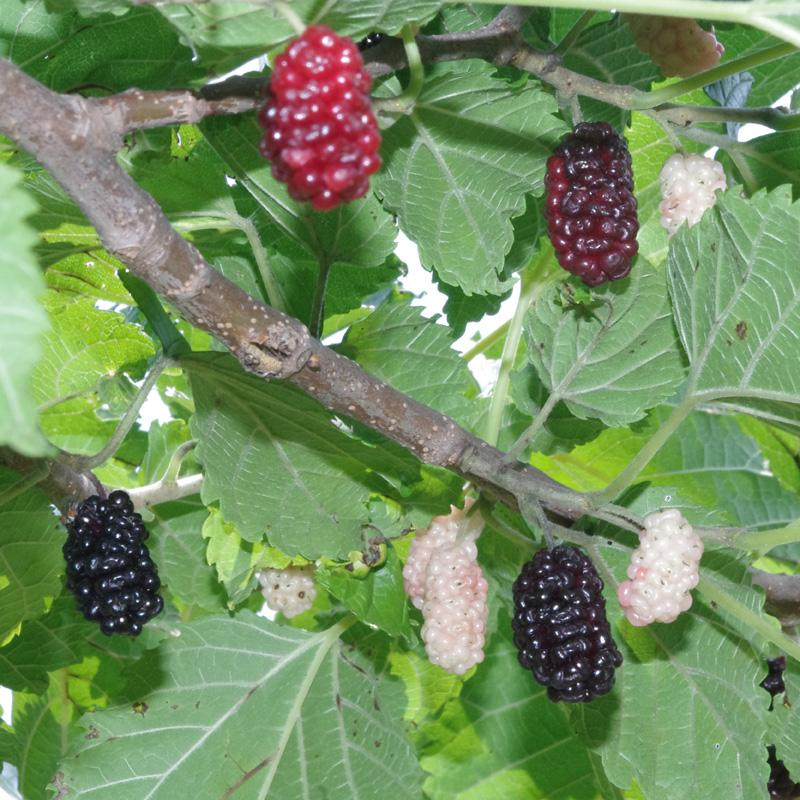 Illinois everbearing mulberry mulberry trees stark bros sciox Image collections