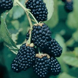Photo of Ouachita Thornless Blackberry