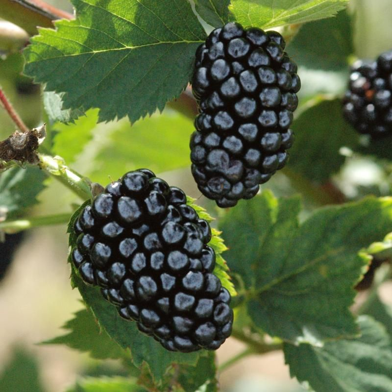 Image result for blackberries