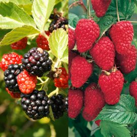 Stark® Primocane Berry Patch Assortment