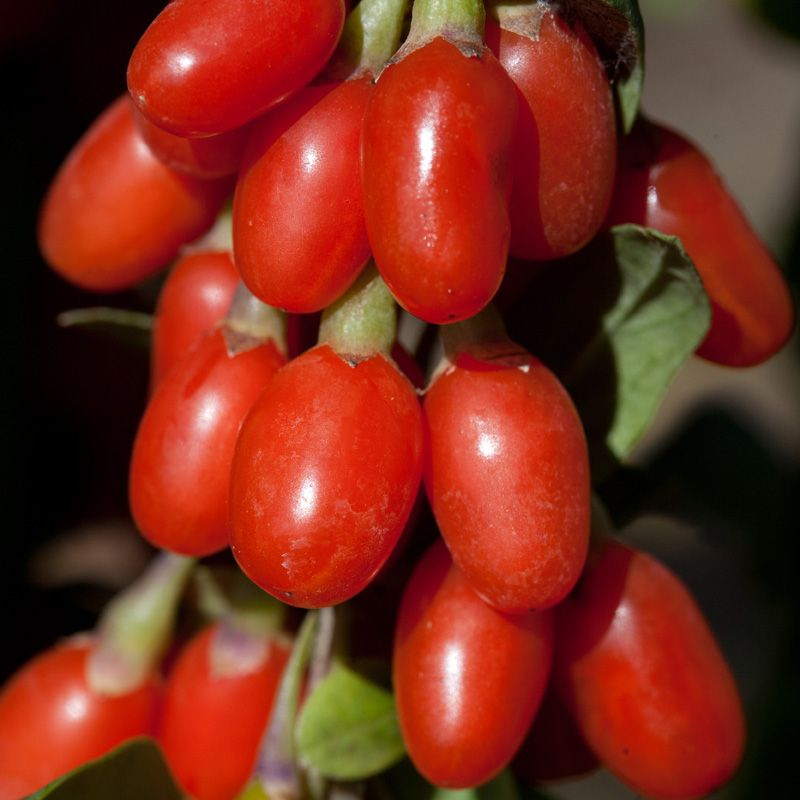 lifeberry® goji berry plant collection  stark bro's, Beautiful flower