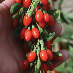 Lifeberry® Goji Berry Plant Collection