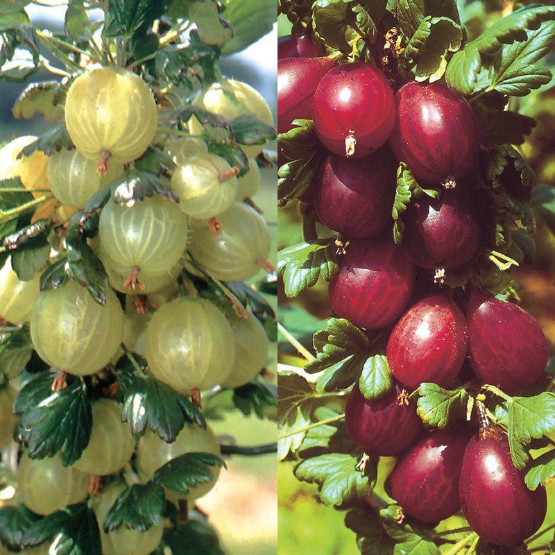 Gooseberry Plant Collection Gooseberry Plants Stark Bro S