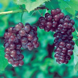 Photo of Reliance Seedless Grape
