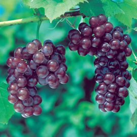 Reliance Seedless Grape