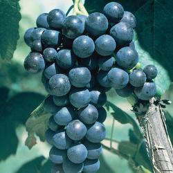 Glenora Seedless Grape
