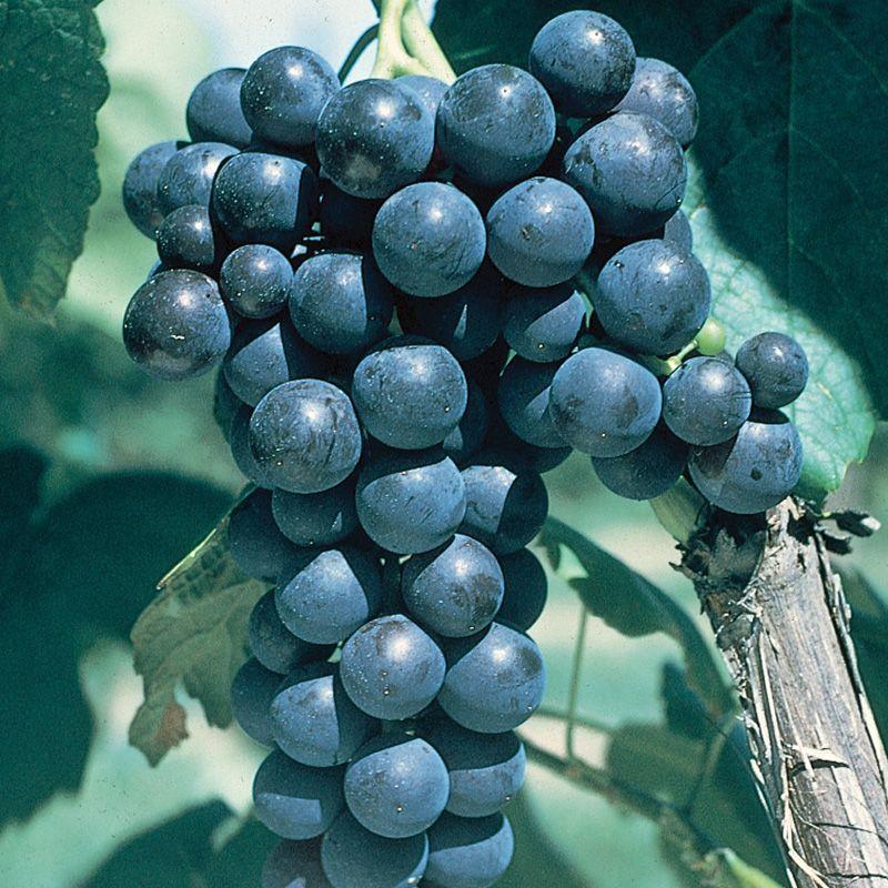 Glenora Seedless Grape Grape Vines Stark Bro S