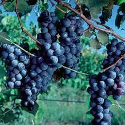 Photo of Concord Grape