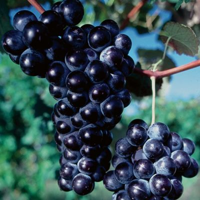Photo of Concord Seedless Grape