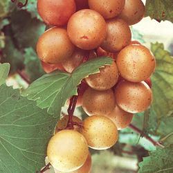 Fry Muscadine Grape