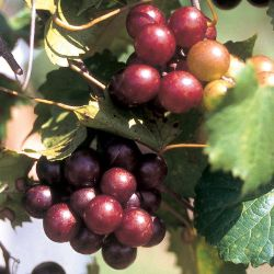 Scarlet Muscadine Grape