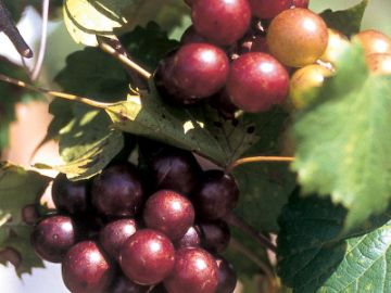 Muscadine Vineyard Collection