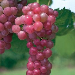 Photo of Flame Seedless Grape