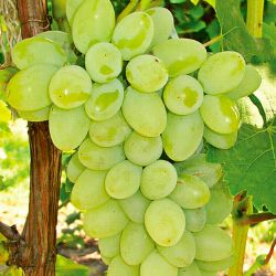Photo of Neptune Seedless Grape