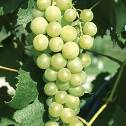 Photo of Marquis Seedless Grape