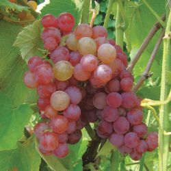 Photo of Somerset Seedless Grape
