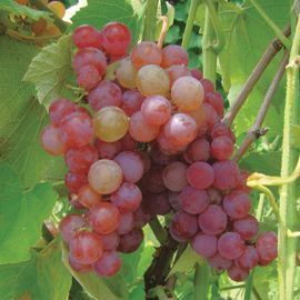 Somerset Seedless Grape