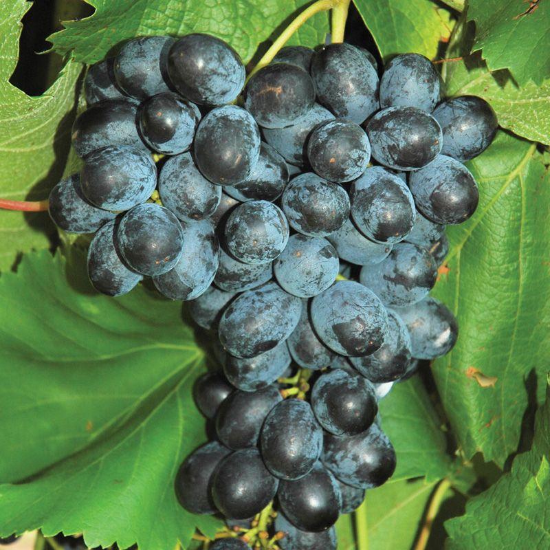 images of grape vines - photo #23