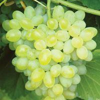 Hope Grape