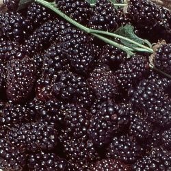 Photo of Boysenberry