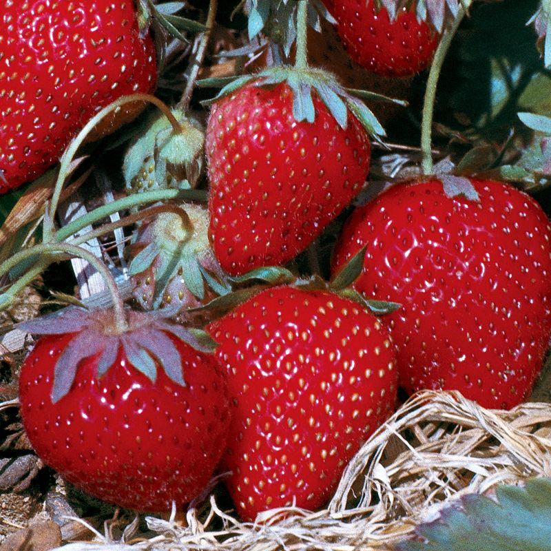 Allstar Strawberry Strawberry Plants Stark Bro S