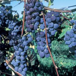 Thomcord Seedless Grape