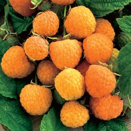 Anne Yellow Raspberry