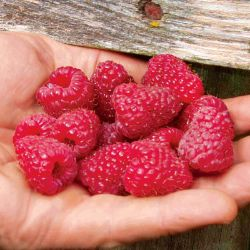 Photo of Joan J Primocane Red Raspberry