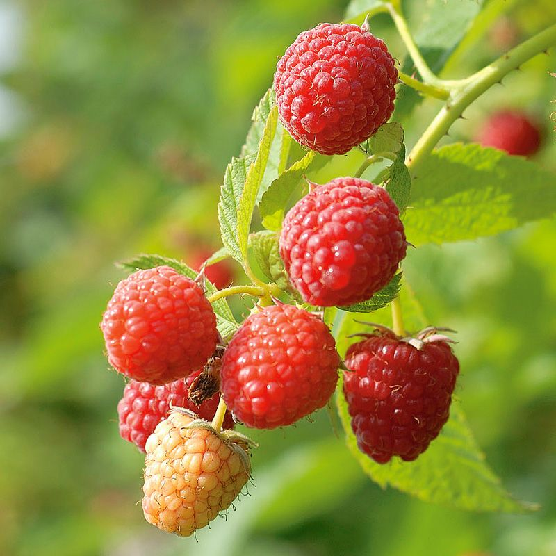 Prelude Red Raspberry