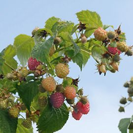 Stark® Primocane Red Raspberry Plant Collection